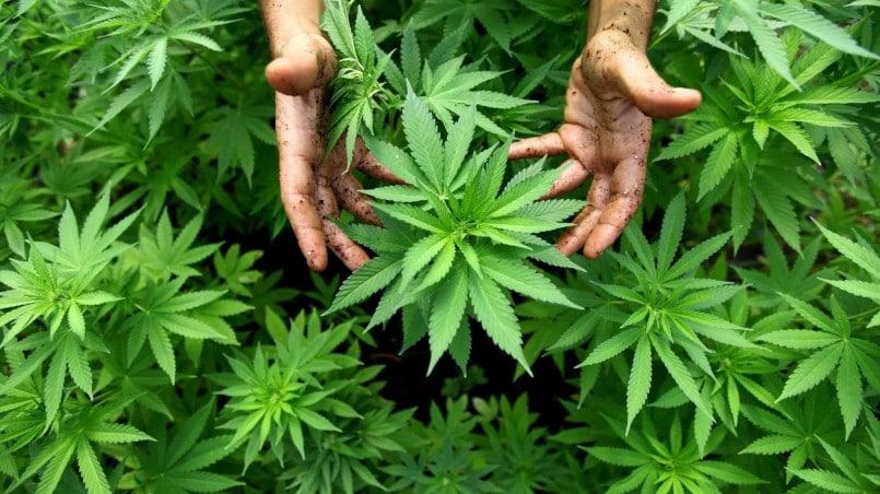 La mayor granja de cannabis medicinal de Latinoamérica