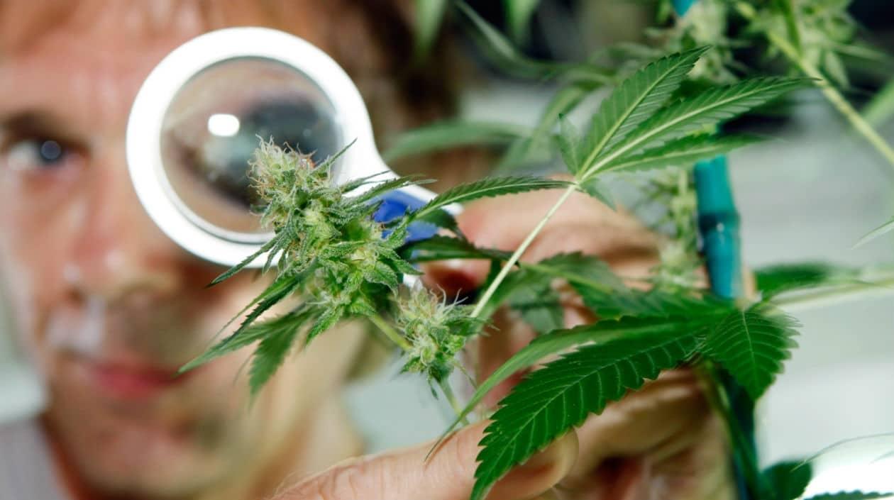 Nación Cannabis | Corrupción en la industria estadounidense de cannabis