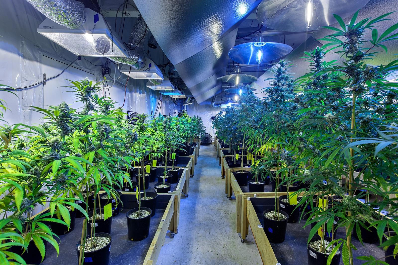 Nación Cannabis | Mercado de la Cannabis potencia inversiones en bienes raíces