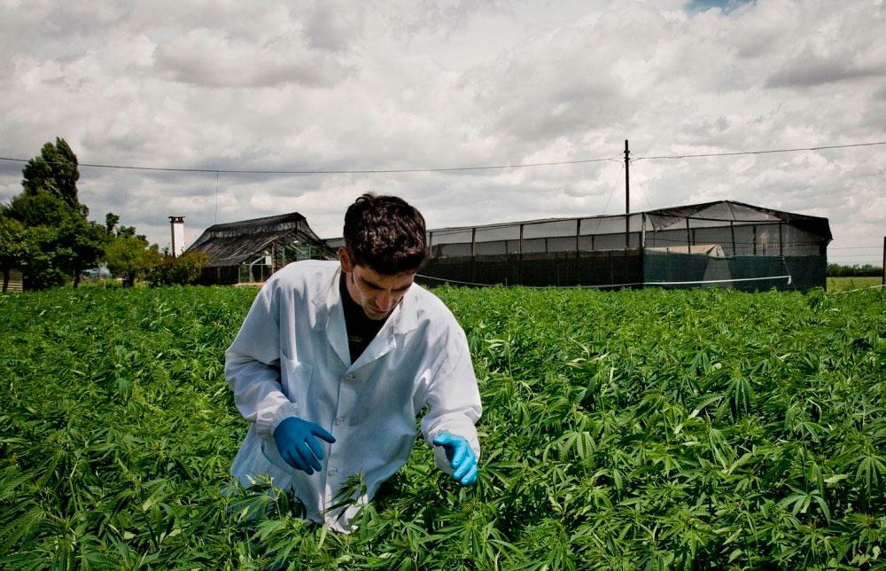 Nación Cannabis | La industria norteamericana de la cannabis ve un paraíso de inversión en Chile