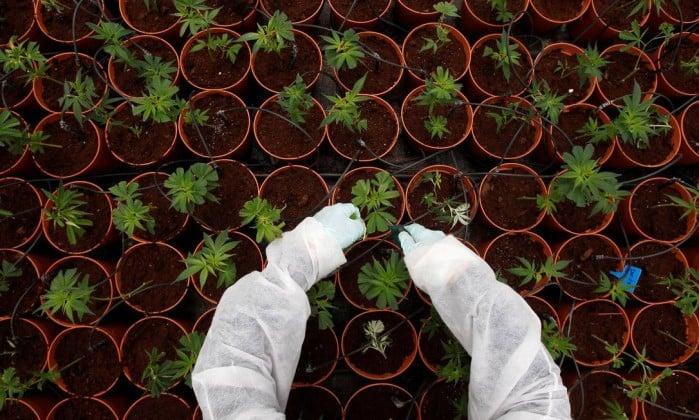 Nación Cannabis | Puerto Rico concede total acceso para la investigación de la cannabis