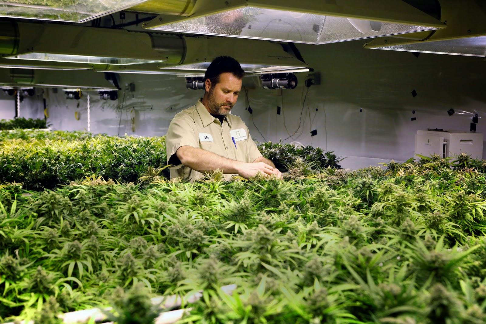 Nación Cannabis | Sobreproducción de marihuana en California