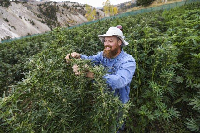 Congreso peruano autoriza la marihuana para fines terapéuticos