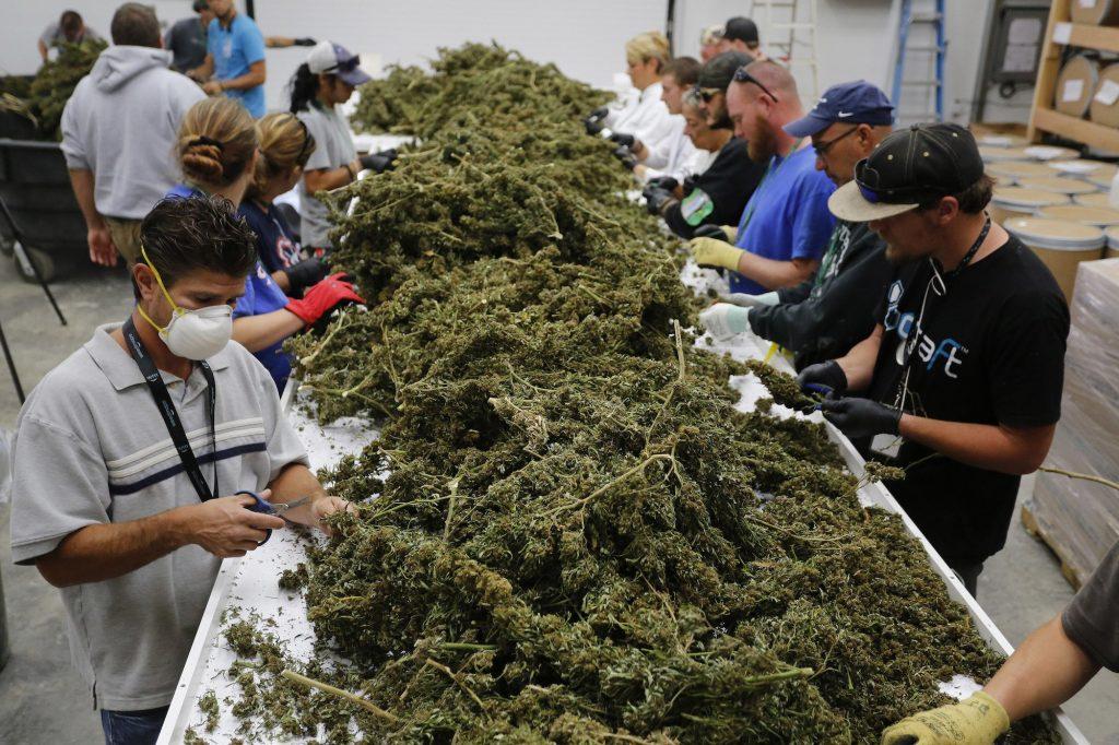 Gobierno elaborará reglamento para uso adecuado del cannabis medicinal