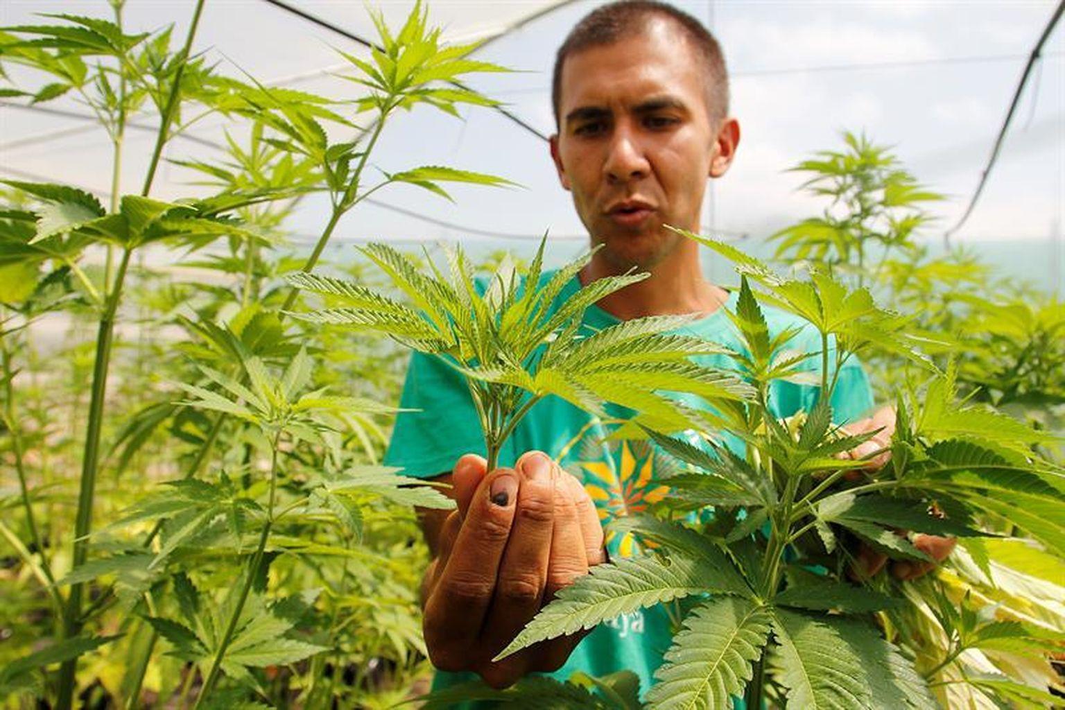 Nación Cannabis | Podríamos importar productos de cannabis medicinal de Uruguay