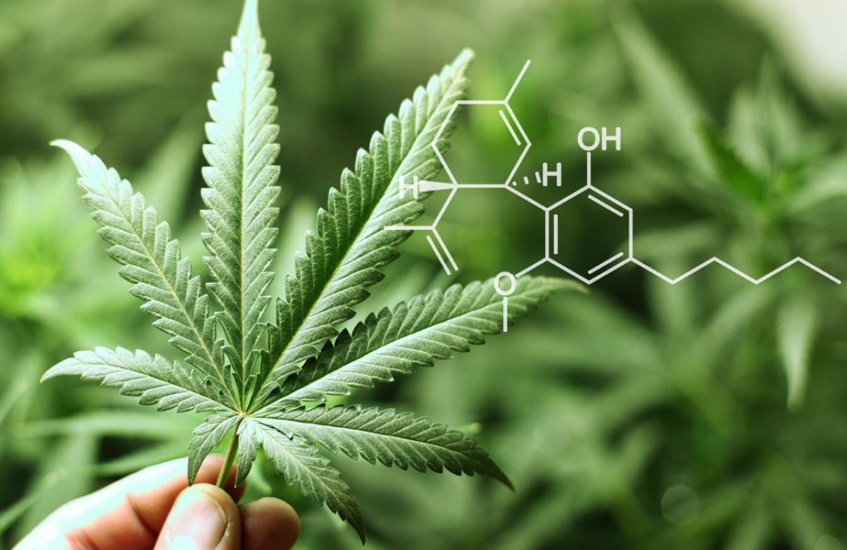 Nación Cannabis | CBD es seguro, no adictivo y no psicoactivo: OMS