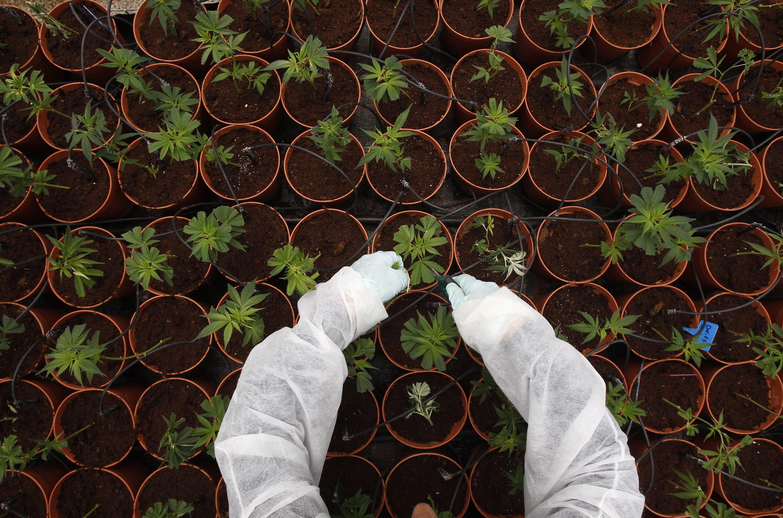Nación Cannabis | Israel podría ser potencia en exportación de cannabis, pero sus permisos están detenidos