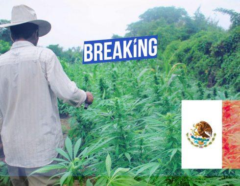 Nación Cannabis | AMLO planea legalización de marihuana en todo México