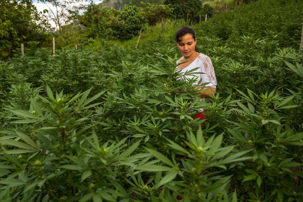 Nación Cannabis | Boom de licencias en Colombia para la comercialización de cannabis medicinal