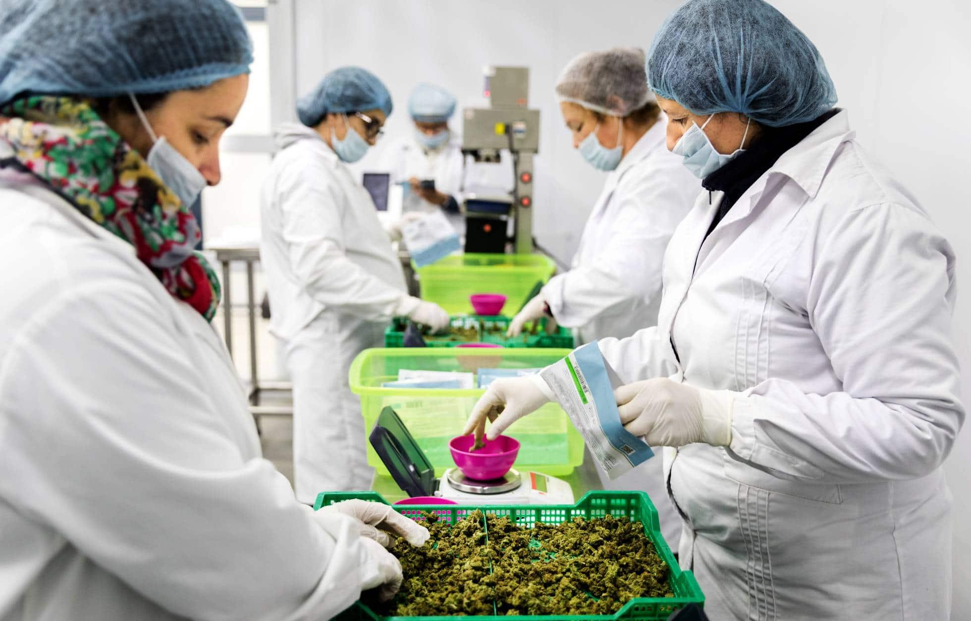 Nación Cannabis | Cannabis en Uruguay aún no genera ganancias