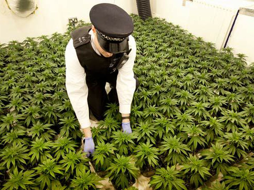 Nación Cannabis | Ley frena inversión: industria cannábica