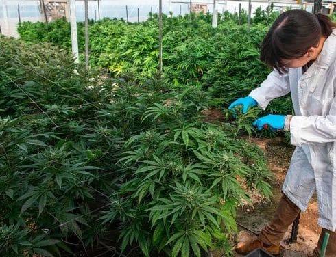 Amexicann estudiará propiedades de cannabis
