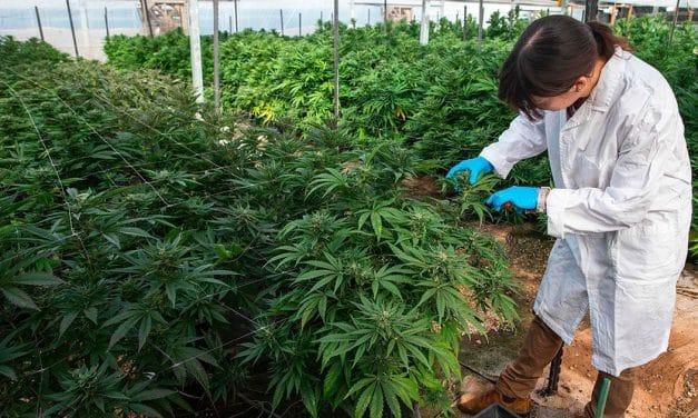 Nación Cannabis | Amexicann estudiará propiedades de cannabis