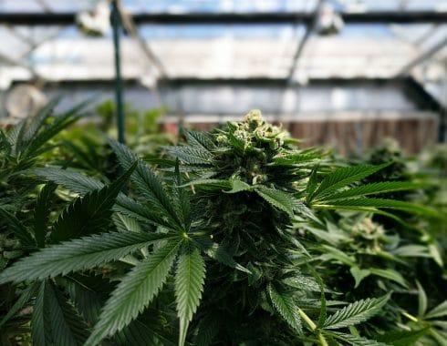 Cannabis en investigación clínica