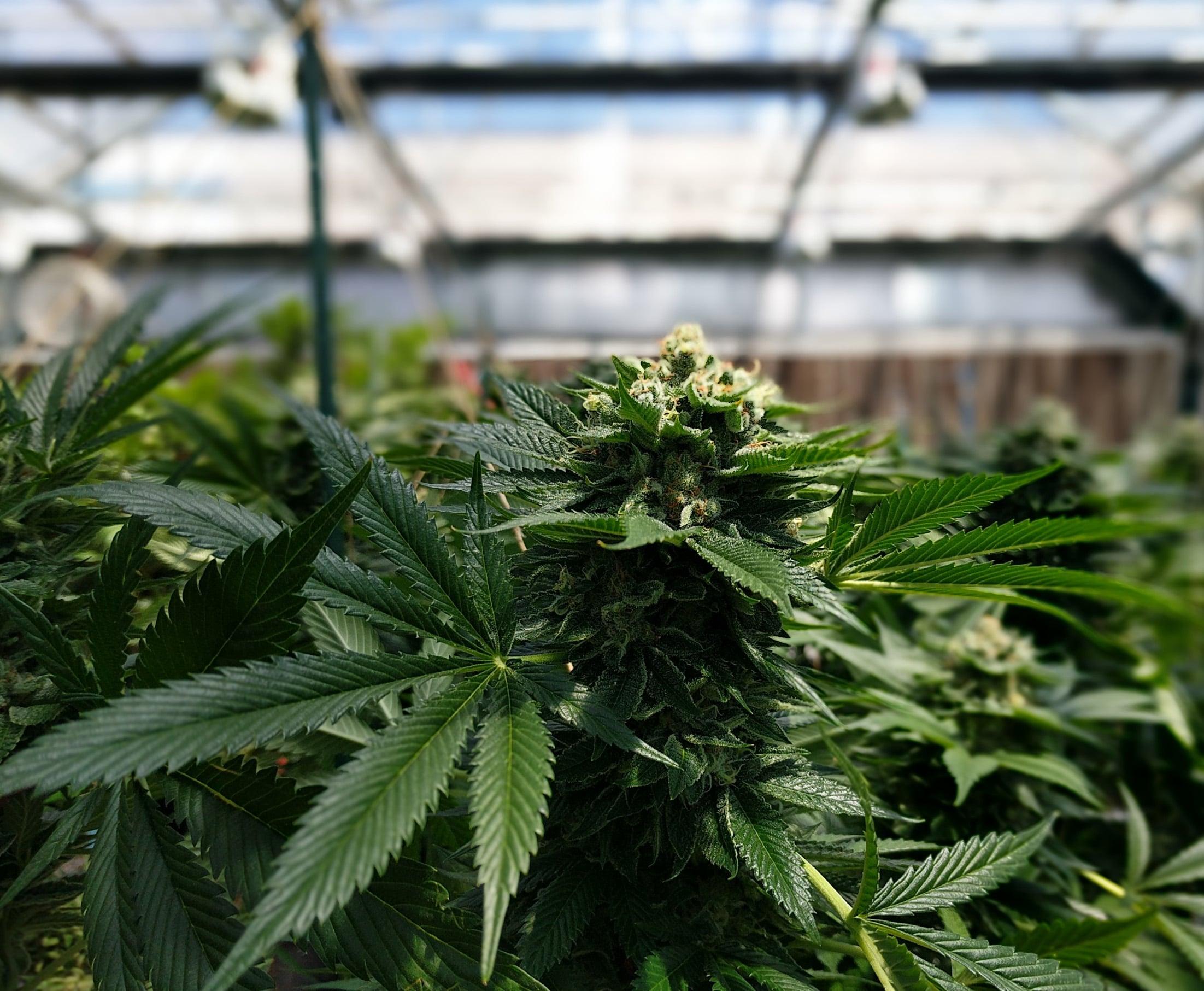 Nación Cannabis | La ciencia detrás de la pureza del cannabidiol