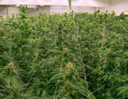 Primera planta de cannabis medicinal en Colombia