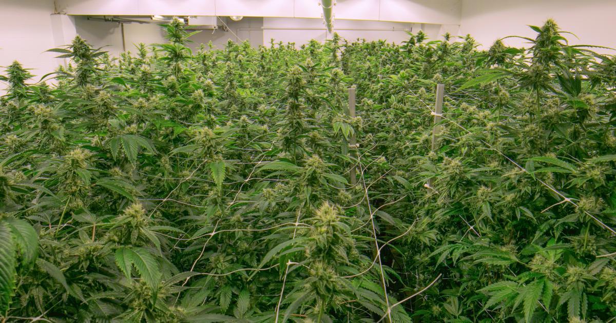 Nación Cannabis | Primera planta de cannabis medicinal en Colombia