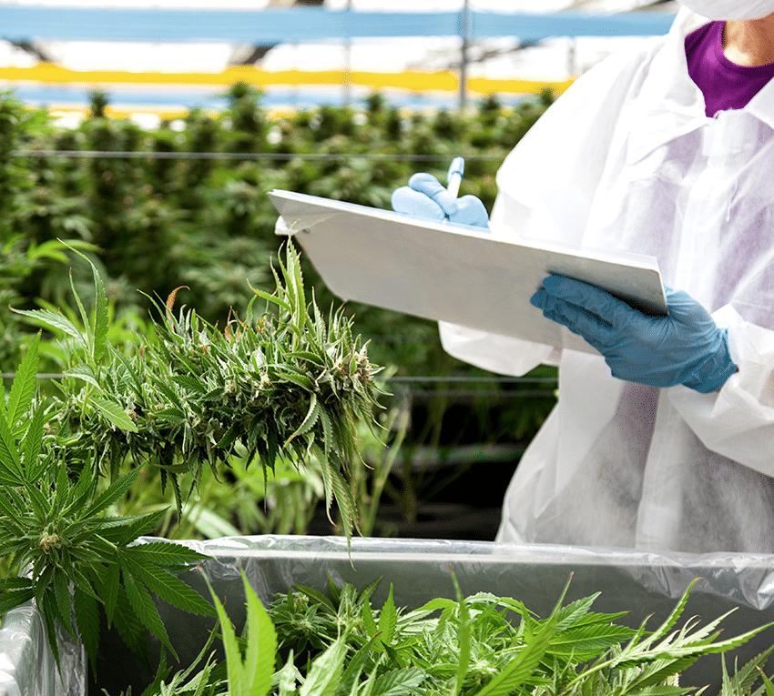 Nación Cannabis | Linneo Health lanza cannabis medicinal en España