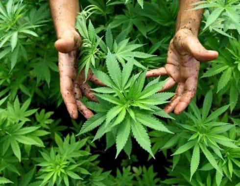 Cultivo de cannabis: lo que tienes que saber