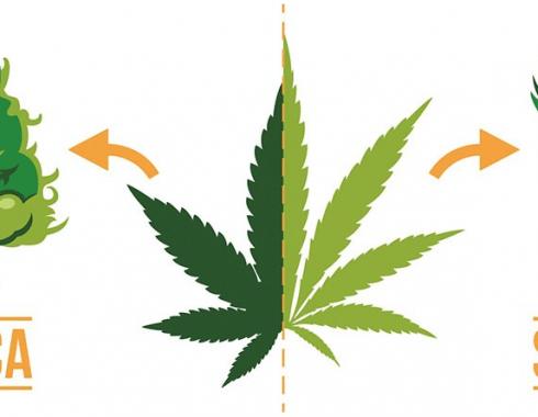 Diferencia entre cannabis indica y sativa