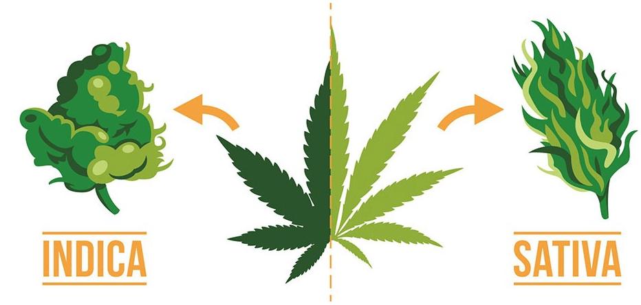 Nación Cannabis | Diferencia entre cannabis índica y sativa
