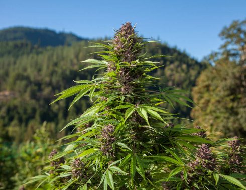 El inigualable aroma del cannabis indica