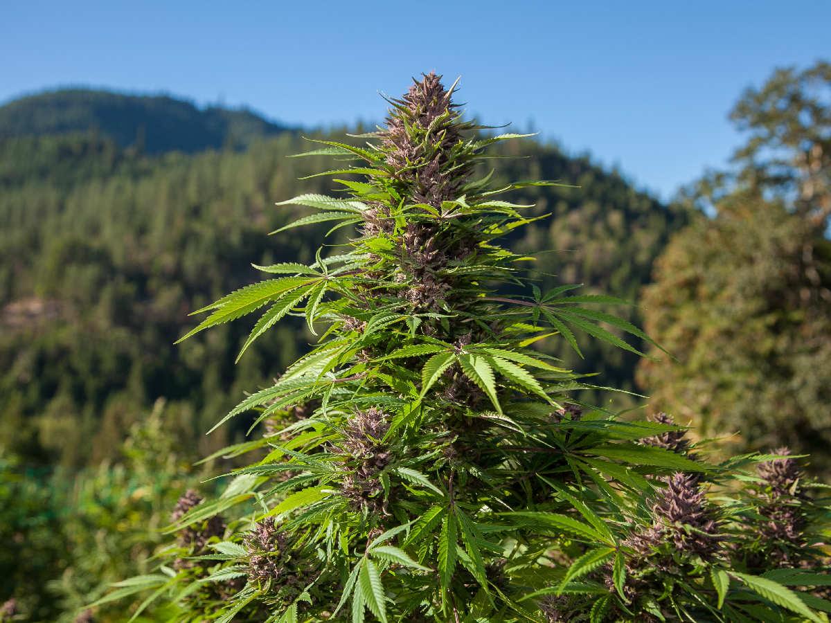 Nación Cannabis | El inigualable aroma del cannabis indica
