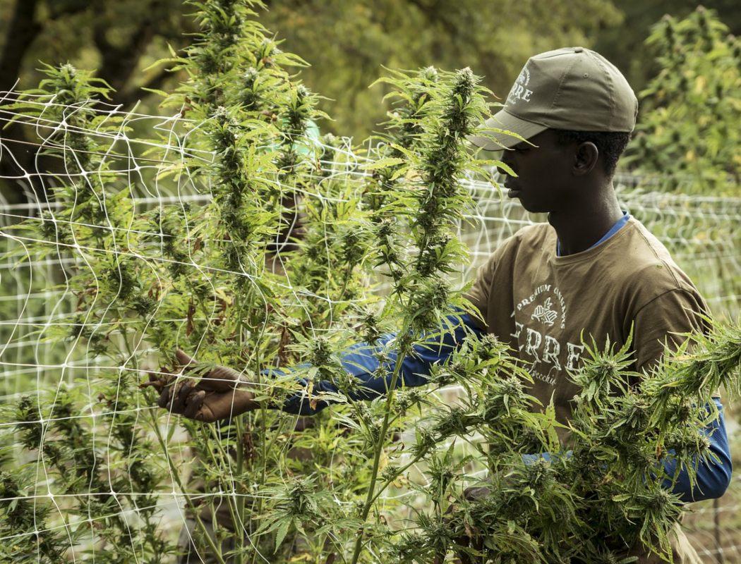 Nación Cannabis | Zambia aprueba exportar cannabis para evitar crisis económica
