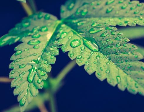 lesoto-cannabis