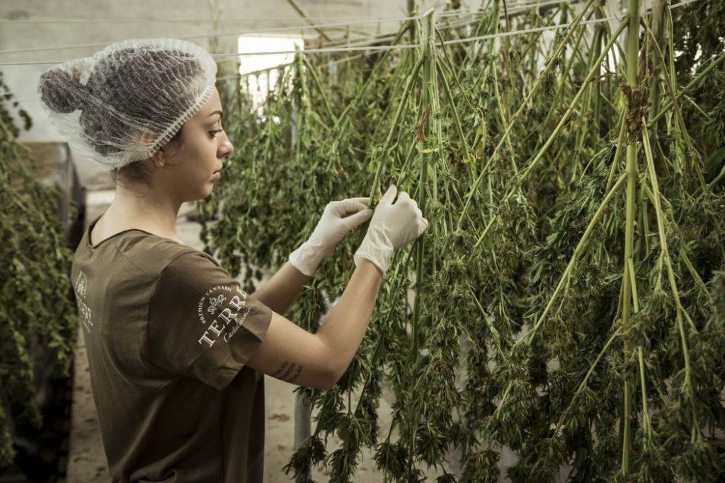 tendencias cannabis