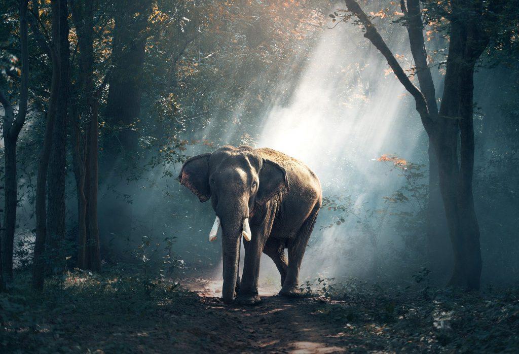 elefante marihuana tailandia