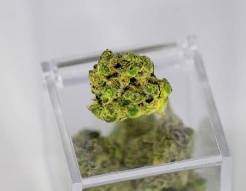 cosechar cannabis luna