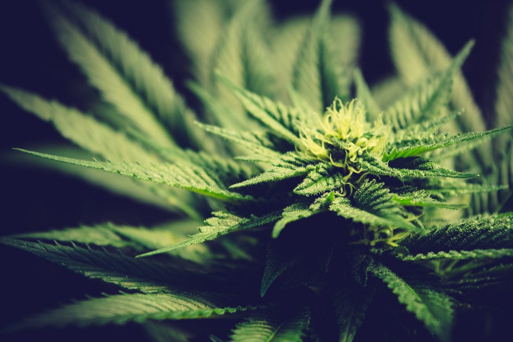 ¿Cuál cannabis es mejor?