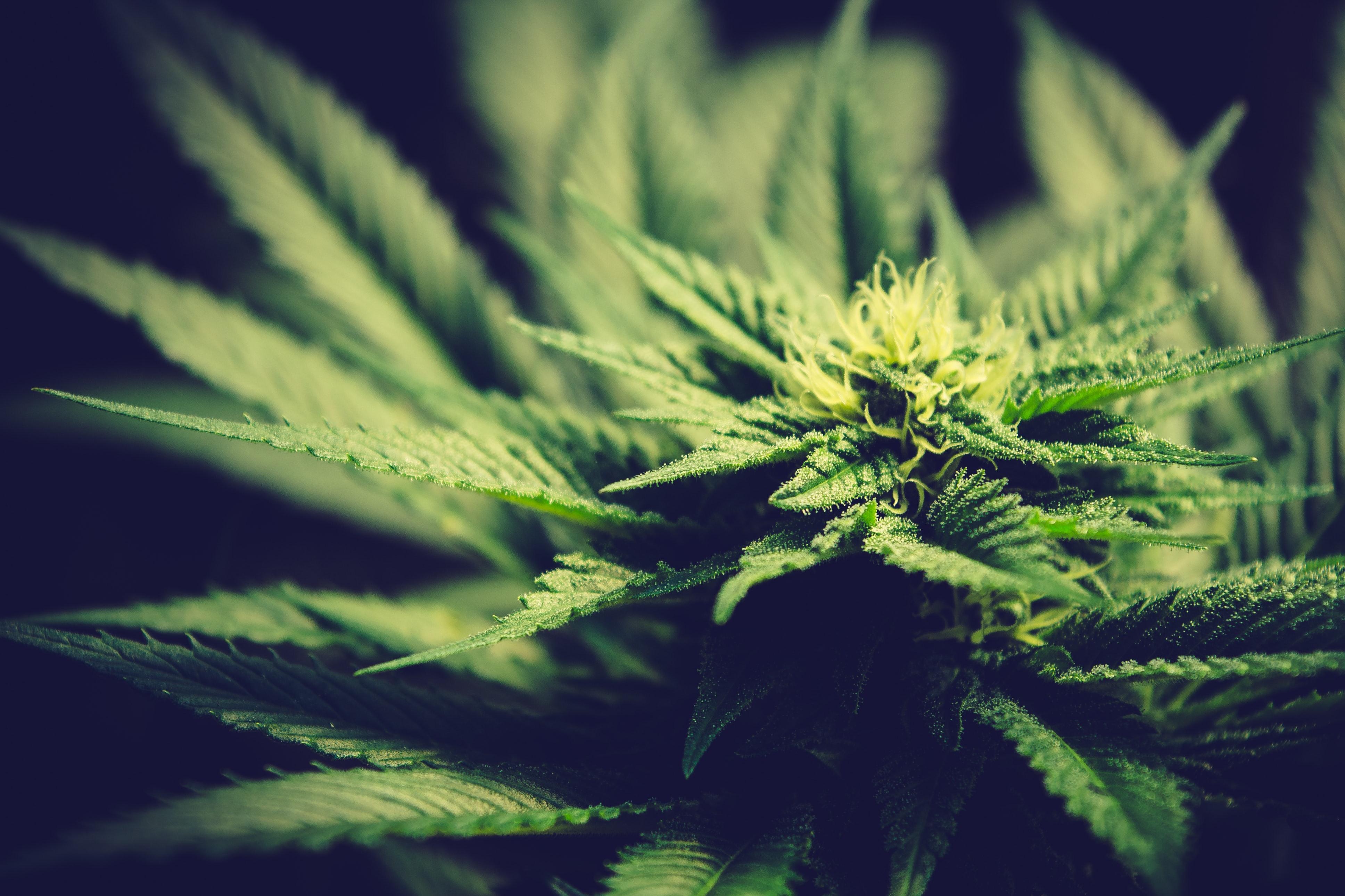 Nación Cannabis | Conoce qué cannabis es mejor