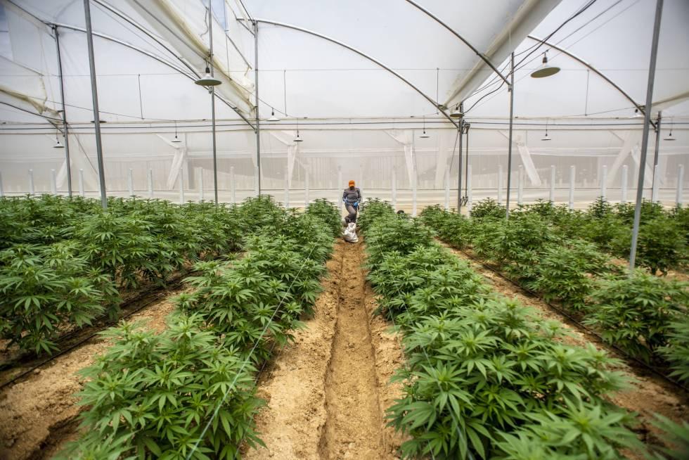 El creciente consumo y uso de cannabis medicinal