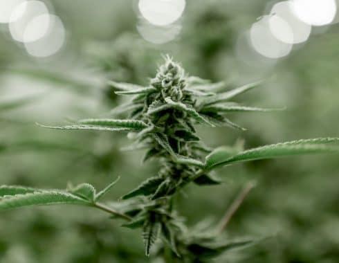 Líbano regular cannabis medicinal crisis