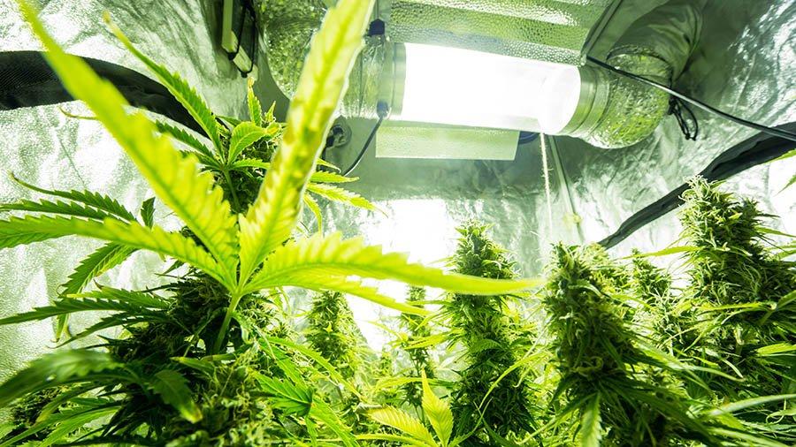 La red de emprendedoras en cultivo de marihuana
