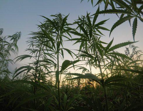 Plagas en plantas de cannabis, ¿cómo detenerlas?