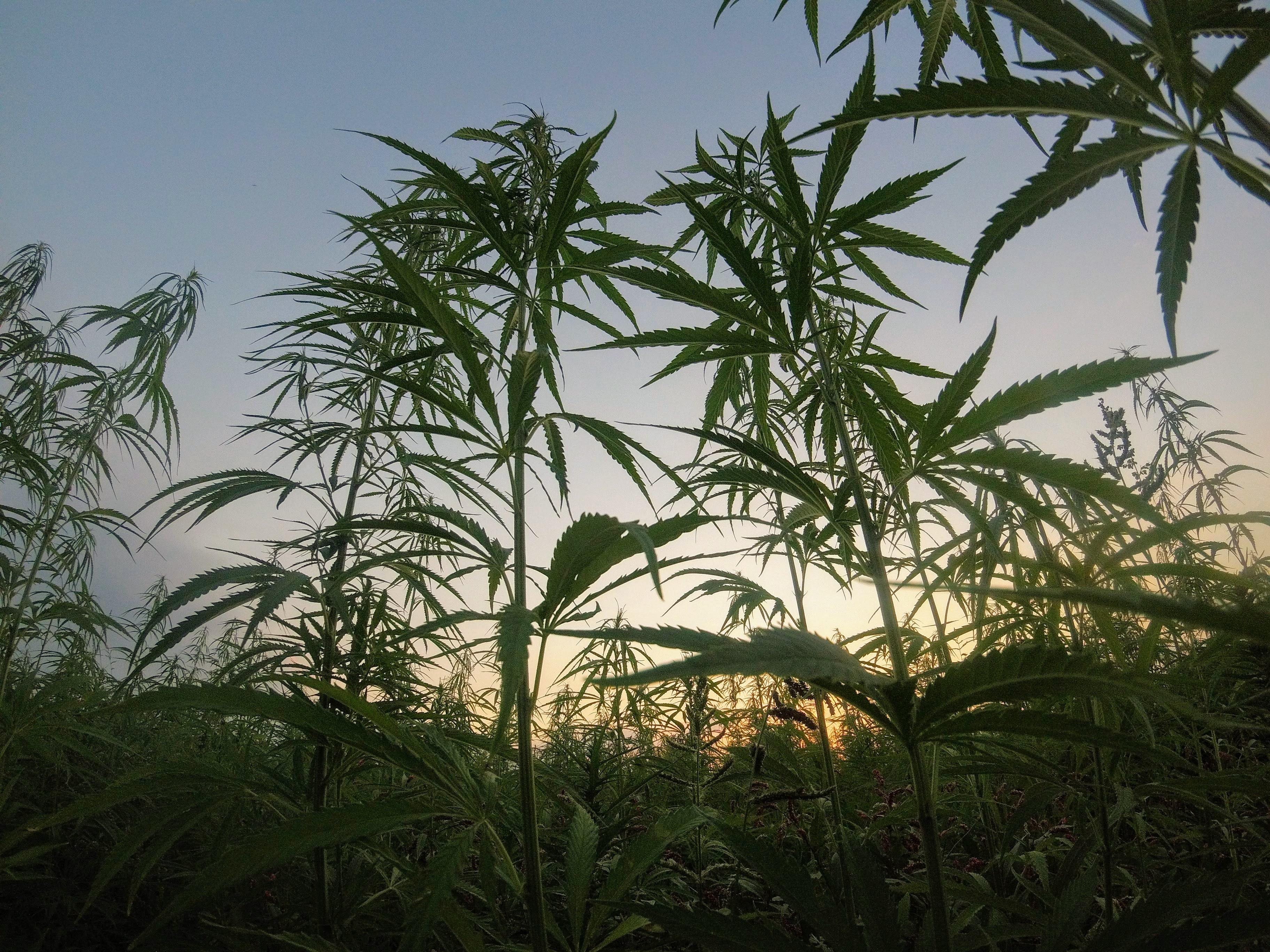 Nación Cannabis | Plagas en plantas de cannabis: ¿cómo detenerlas?