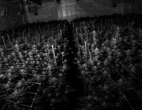Uruguay Can lanza solución de trazabilidad de cannabis
