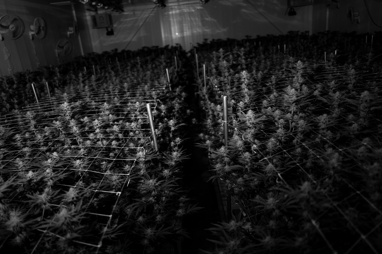 Nación Cannabis | Uruguay Can estrena trazabilidad de cannabis
