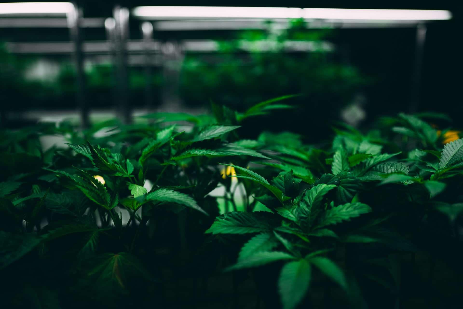 Nación Cannabis | Aceite de cáñamo reduce dolor neuropático crónico