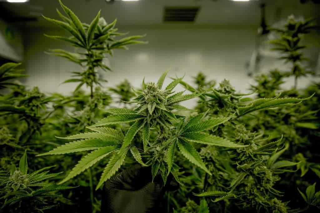 Legalizar cannabis reduce mercado negro