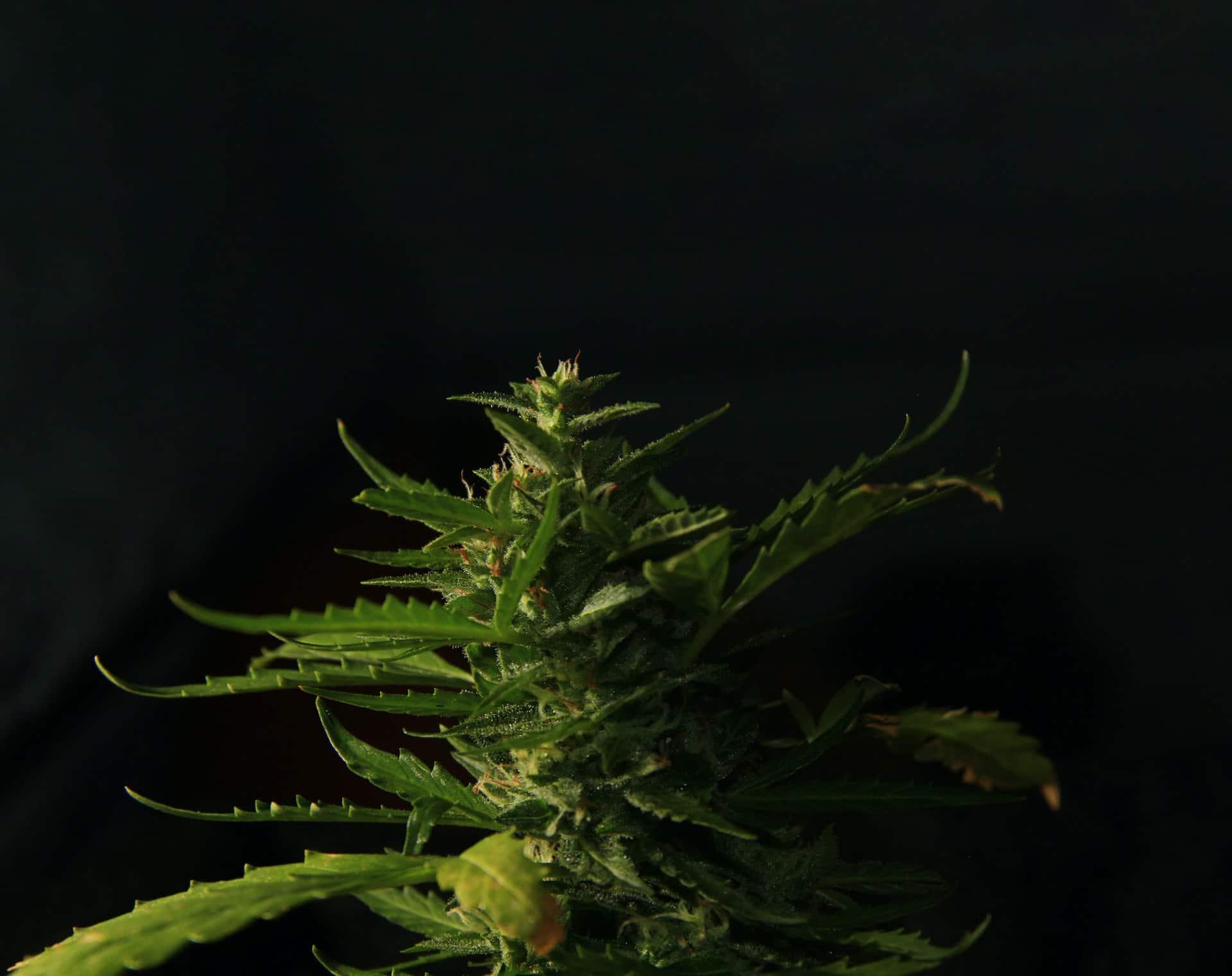 Nación Cannabis | ¿Regular el cannabis traerá paz a México?