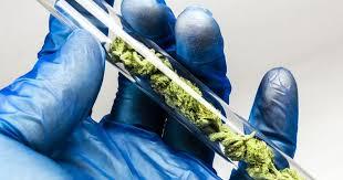 Sin resultados, investigaciones sobre efectos inmunes del cannabis