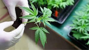 Difícil convencer a médicos para aceptar cannabis medicinal: Cannapeutas
