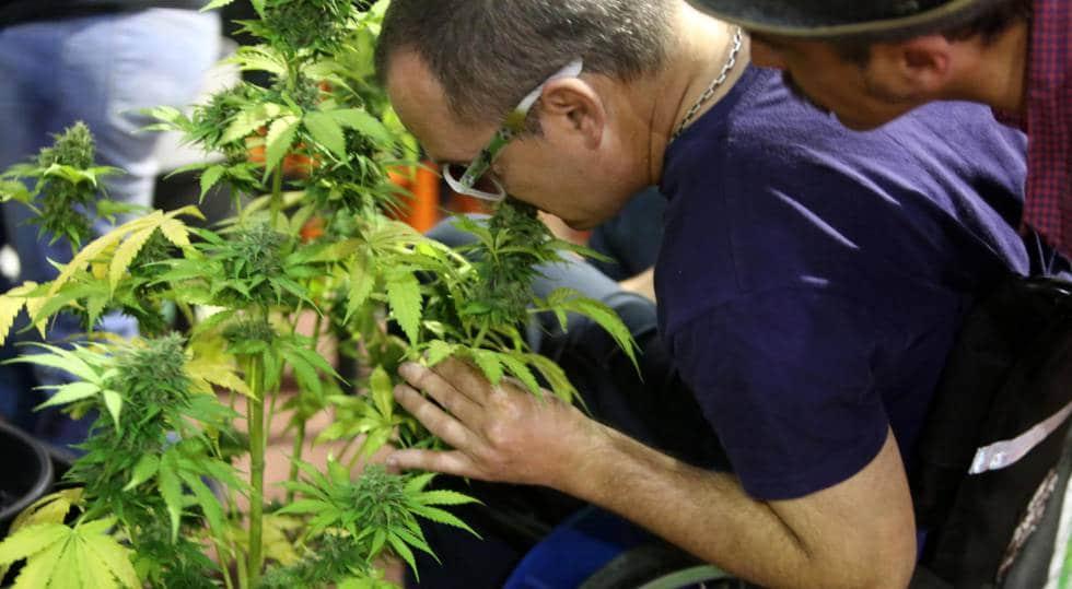 SCJN ordena disposiciones sobre uso medicinal de cannabis