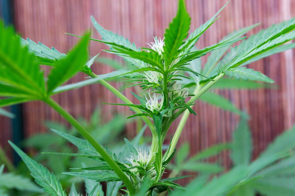 regulacion cannabis medicinal