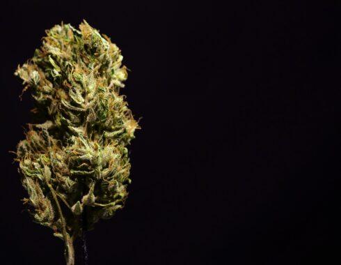 Ikänik Farms, ¿la primera en cultivar cannabis en México?