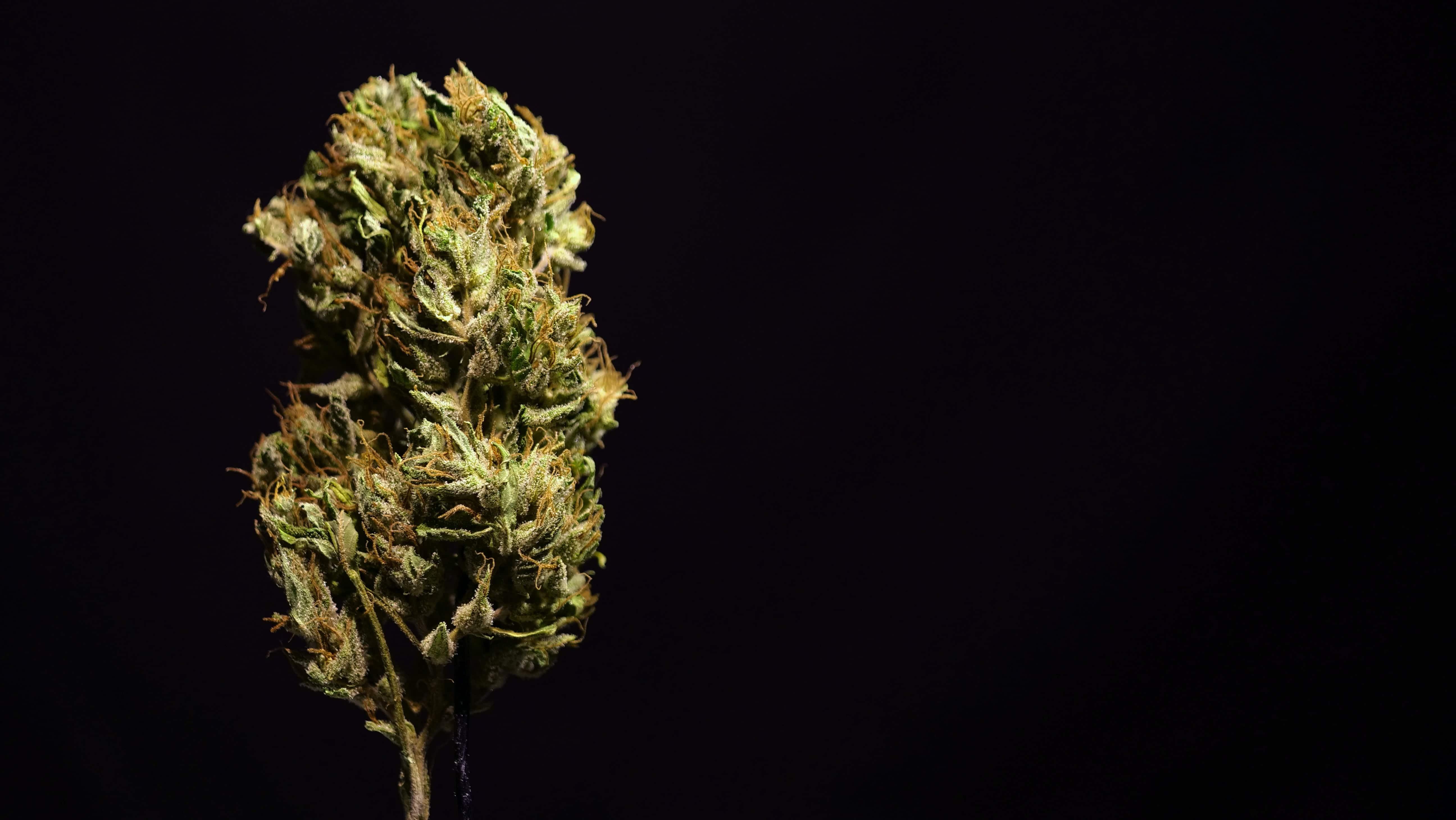 Nación Cannabis | Ikänik Farms: ¿la primera en cultivar cannabis en México?